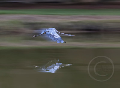 Great Blue Breaking Through