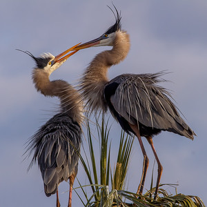 Courting Great Blue Heron Pair