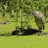 black-crowned night-heron: Nycticorax nycticorax, juvenile: immature, Mud Lake
