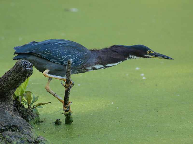 green heron: Butorides virescens, Mud Lake
