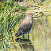 Andrew Haydon Park, black-crowned night-heron: Nycticorax nycticorax, immature: juvenile