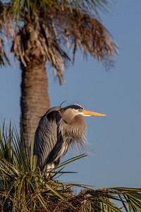 Great Blue Heron and Palm Trees