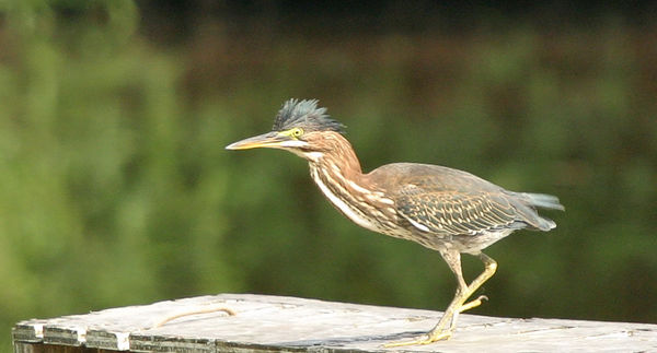"Taken with my Cheap Sigma 70-300DL Lens. ""Green Heron"" This is the same Bird as above.."