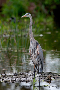 Young Great Blue Heron  #6065