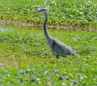 "Taken with my Cheap Sigma 70-300DL Lens. ""Great Blue Heron"" I will get better ones now that I have my Bigma Lens."