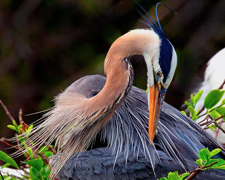 Great Blue Heron   #1009