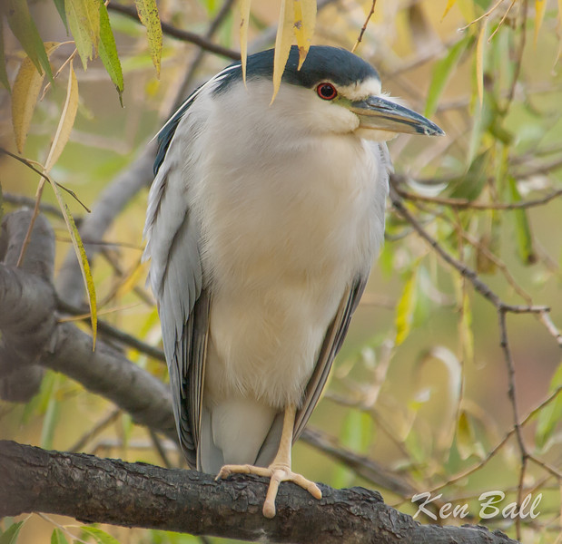 black-crowned night-heron: Nycticorax nycticorax, Rideau River