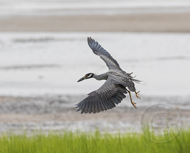 Heron Homing In On Crab Cornucopia