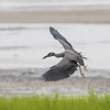 Heron Homing In On Crab Cornucopia