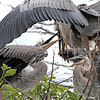 Feeding Hungry Chicks   #1426