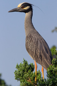 Alert Yellow-crowned Night Heron