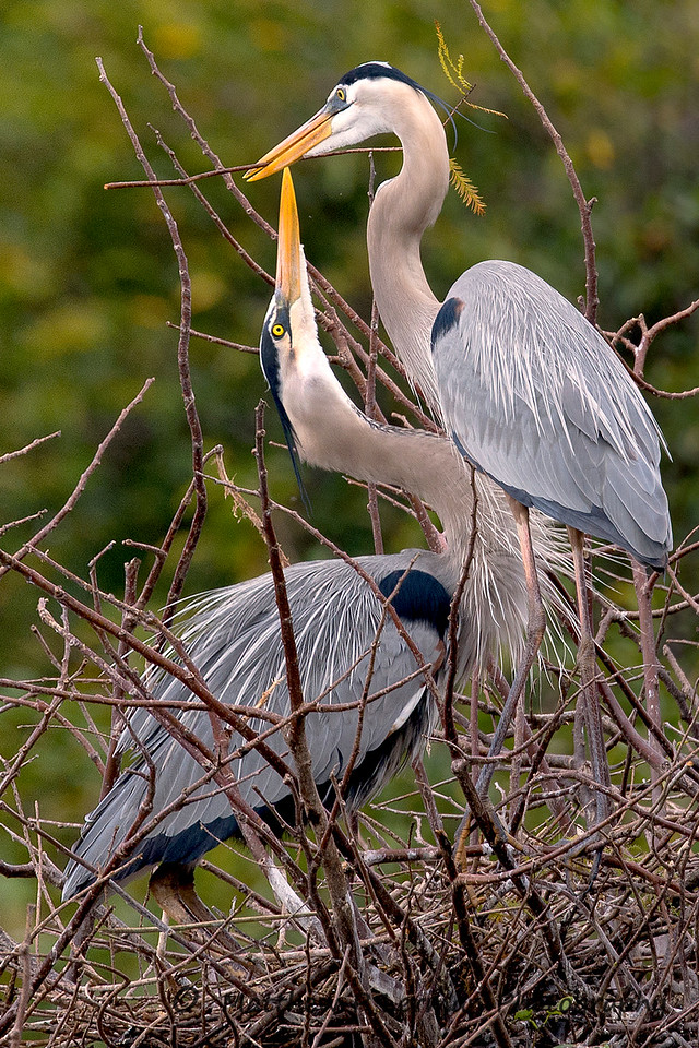 Courtship: Great Blue Herons
