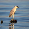 Black-Capped Night Heron