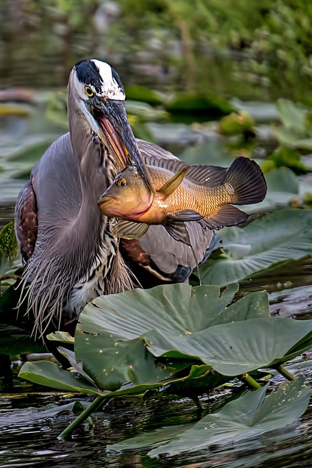 Big Fish II   #1513