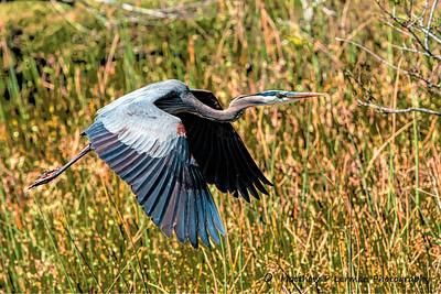 Great Blue heron    #1012