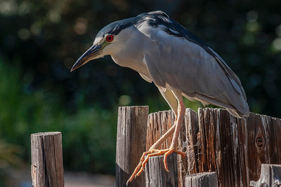 Black-crowned Night Heron on Dock Posts