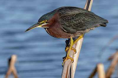 Green Heron Perch