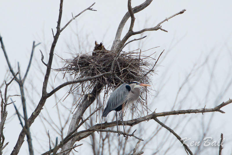 A pair of Great Horned Owls have taken over a nest at the heronry.<br /> The herons scream, fly around and try to drive off the male  owl each time it comes to the nest.<br /> great blue heron: Ardea herodias, great horned owl: Bubo virginianus, heronry,