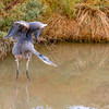 Great Blue Heron with yoga pose