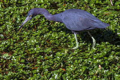 Foraging Little Blue Heron