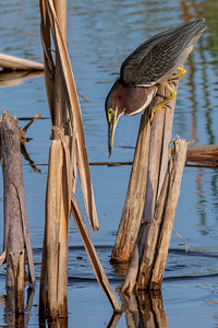 Green Heron with Small Catch