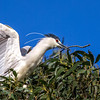 Black-crowned Night Heron bringing stick to nest