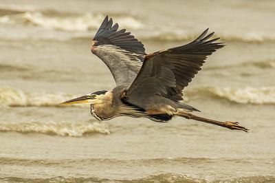 Great Blue Heron (Area herodias)