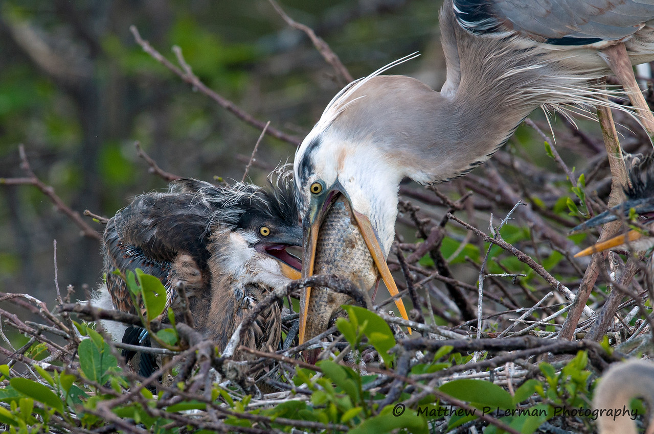 Great Blue Heron feeding chick