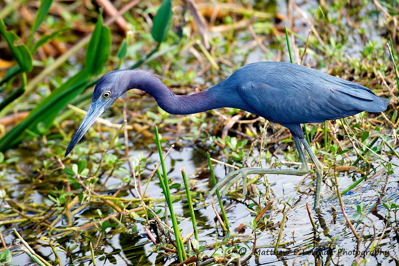 Little Blue Heron   #915