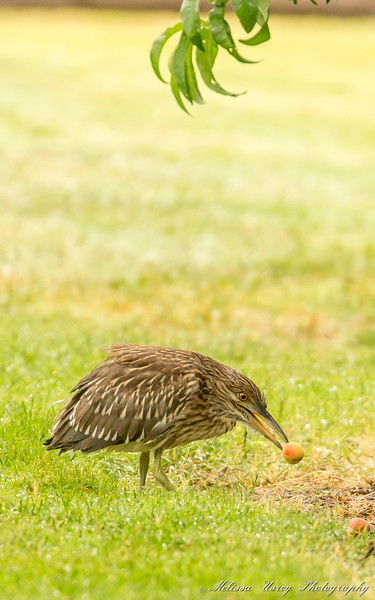 Juvenile Black-crowned Night Heron with a peach