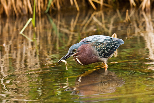 Green Heron With Minnow #1 (Butorides virescens)