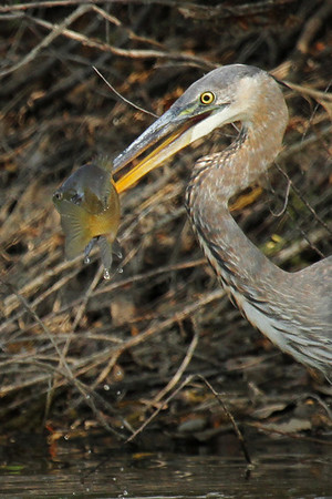 Great Blue Heron With Fish #1 (Ardea herodias)