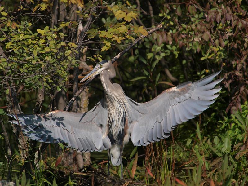 drying, great blue heron: Ardea herodias, Mud Lake