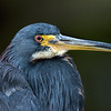Tricolored Heron   #1524