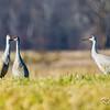 Milton Road, sandhill crane: Grus canadensis
