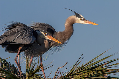 Great Blue Heron Mated Pair