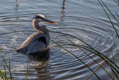 Bathing Great Blue Heron