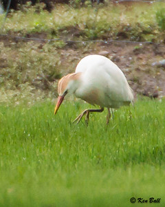 CA-ON-Leamington-576 Bevel Line Rd, cattle egret: Bubulcus ibis