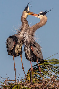 Great Blue Heron Courtship Rituals