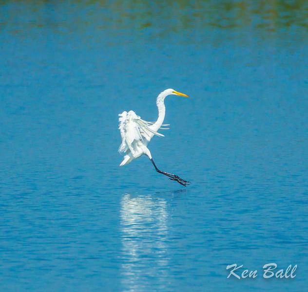 great egret: Ardea alba, Shirley's Bay Dyke