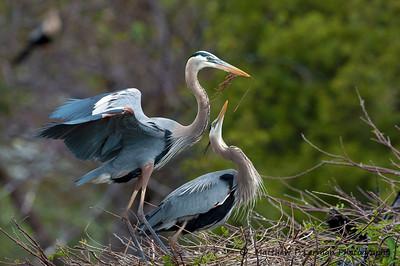 Courtship   (Great Blue Herons)  #110