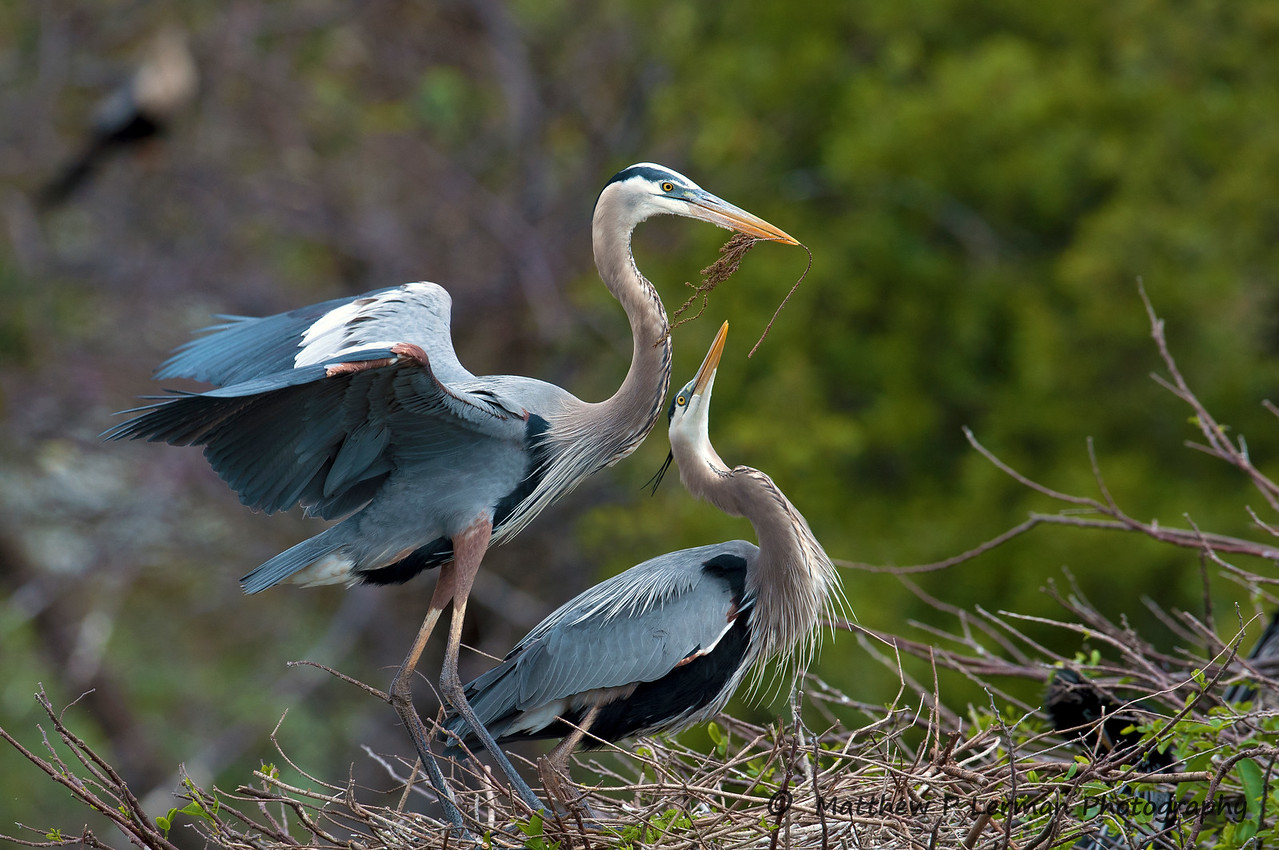 Courtship   (Great Blue Herons)  #110