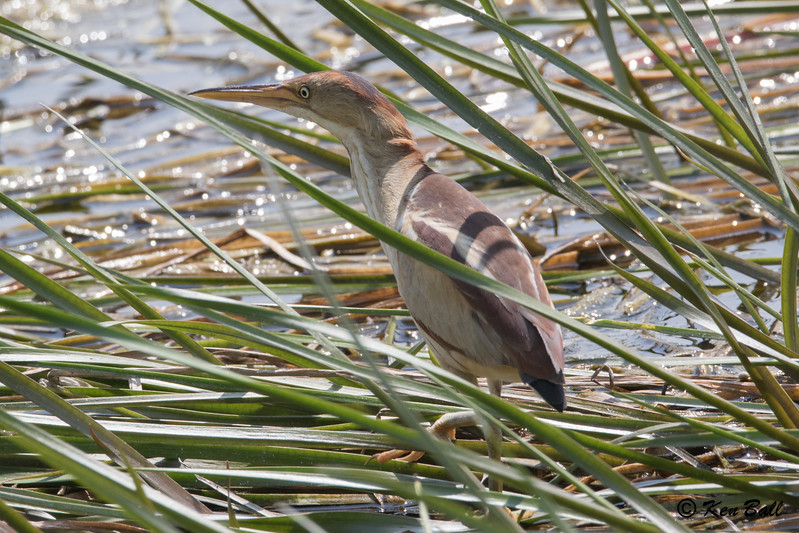Least Bittern: Ixobrychus exilis, Carp, Ontario
