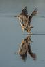 Great Blue Heron (Ardea hernias)