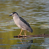 black-crowned night-heron: Nycticorax nycticorax, Mud Lake