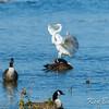 Andrew Haydon Park, great egret: Ardea alba