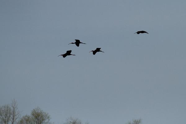White-Faced Ibis Flying #2 (Plegadis chihi)