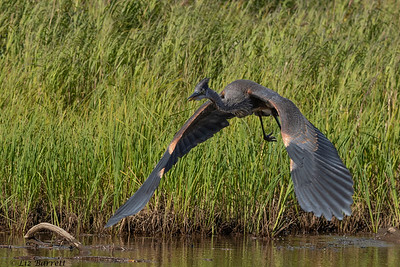 202A0891_Heron attack