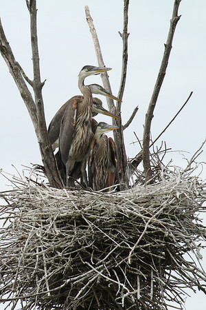 Great Blue Heron Young (Ardea herodias)
