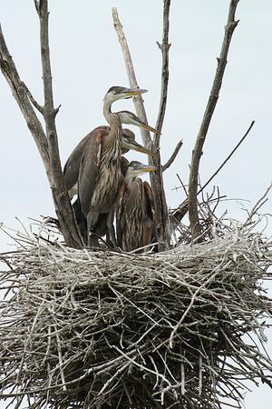 Great Blue Heron Young (Ardea herodias)